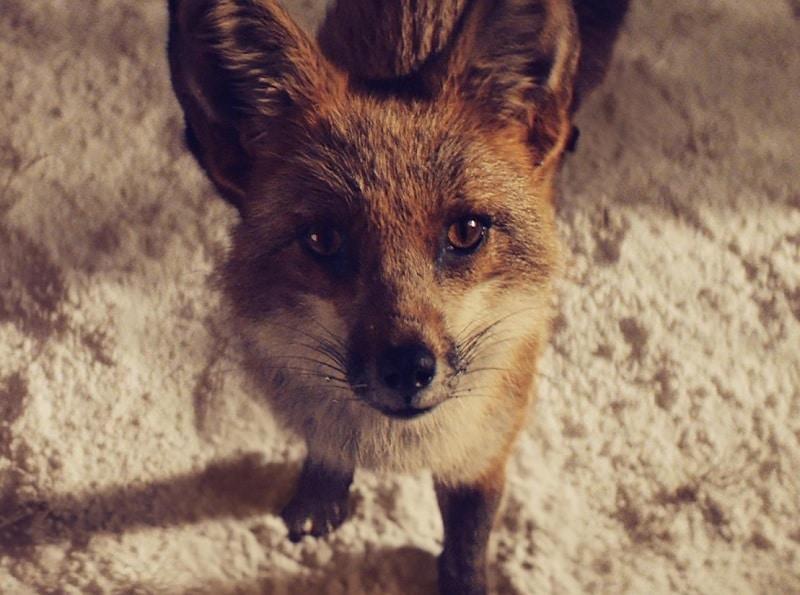 christmas-ad-fox