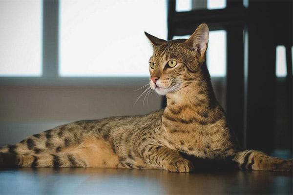 ashera cat breed